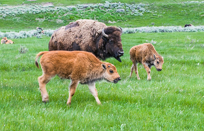 Yellowstone_Bison-28