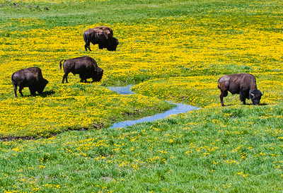 Yellowstone_Bison-24