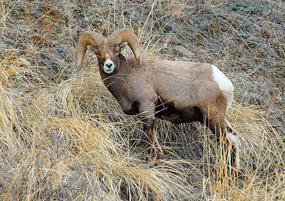 Big Horn Sheep 06