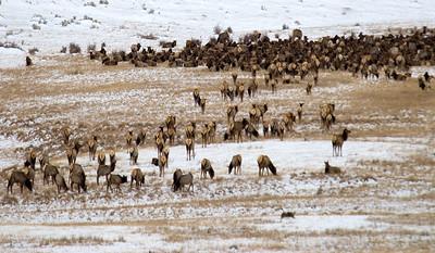 Elk 7