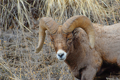 Big Horn Sheep 04