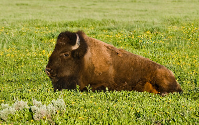 Yellowstone_Bison-18