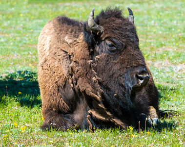 Yellowstone_Bison-30