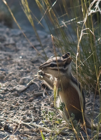 """Alpine Chipmunk. <i>Eutamias alpinus</i> (Merriam). These chipmunks are the smallest chipmunks in Yosemite, usually found above 8000'. These guys are extremely fast and nimble, darting from plant to plant as they searched for seeds.<br /><span class=""""photoid"""">[0021Yosemite 070701-2]</span>"""
