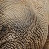 Elephant wrinkles - San Antonio Zoo