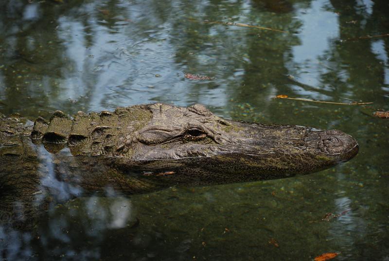 Alligator at the San Antonio Zoo.