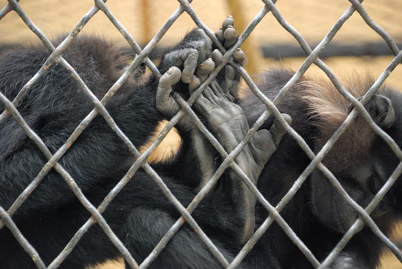 San Antonio, Texas - April 21, 2007 - Two Black Mangabey Monkeys intertwine their fingers with their cage in the San Antonio Zoo.
