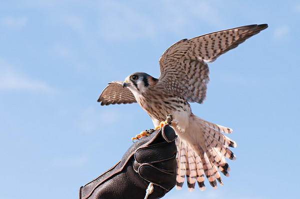 American Kestrel<br /> <br /> This is an injured, captive hawk, being cared for by the good people at the Avian Reconditioning Center,Apopka, Florida