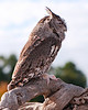 Eastern Screech Owl<br /> <br /> This is an injured, captive owl, being cared for by the good people at the Avian Reconditioning Center,Apopka, Florida