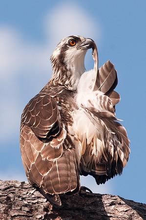 Preening Osprey