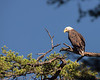 Bald Eagle, Yellowstone
