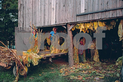 Hanging tobacco leaves in barn to dry.