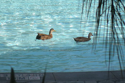 Ducks were first in the pool this morning
