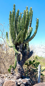 Cactus tree outside the Peralta Archaeological excavation