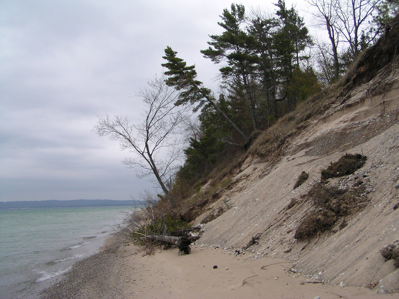 Even large White Pines are about to tumble onto the beach.