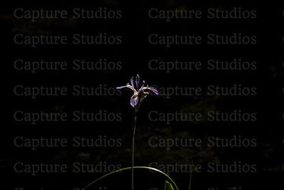 Purple Iris_8174
