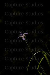 Purple Iris_8180
