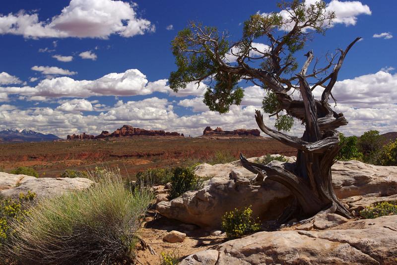 Landscape with juniper; Arches National Park, Utah.