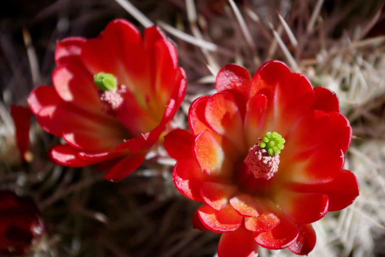 Claret cup cactus blooms, Chesler Park Trail, Canyonlands National Park, Utah.