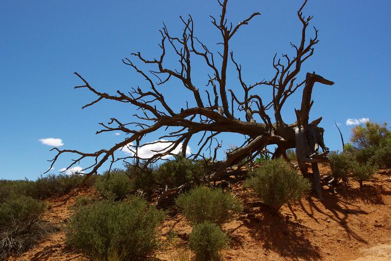 Pinyon Pine skeleton, Arches National Park, Utah