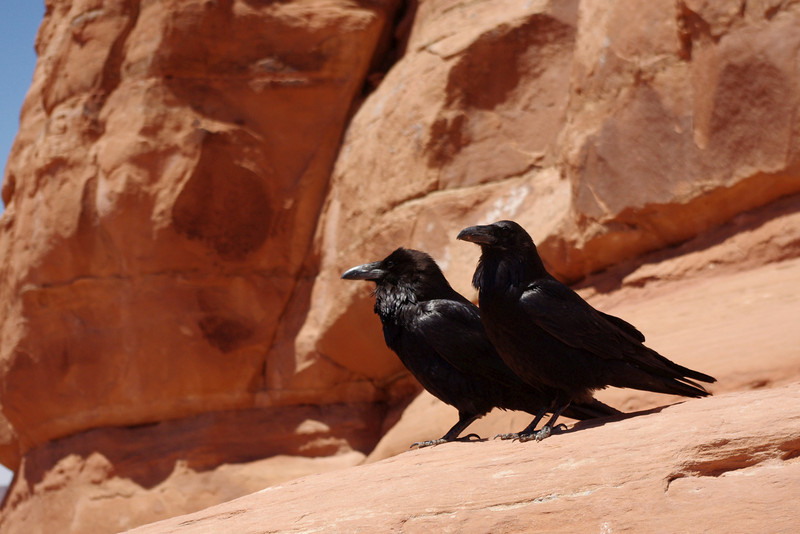 Pair of ravens, said to mate for life. Delicate Arch area, Arches National Park.
