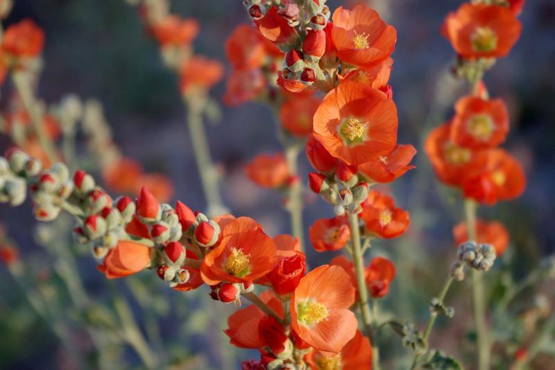 Globe Mallow, a roadside flower in Arches National Park, Utah.