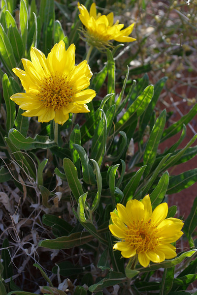 Roadside flowers, possibly Rough Mulesears, Arches National Park, Utah.
