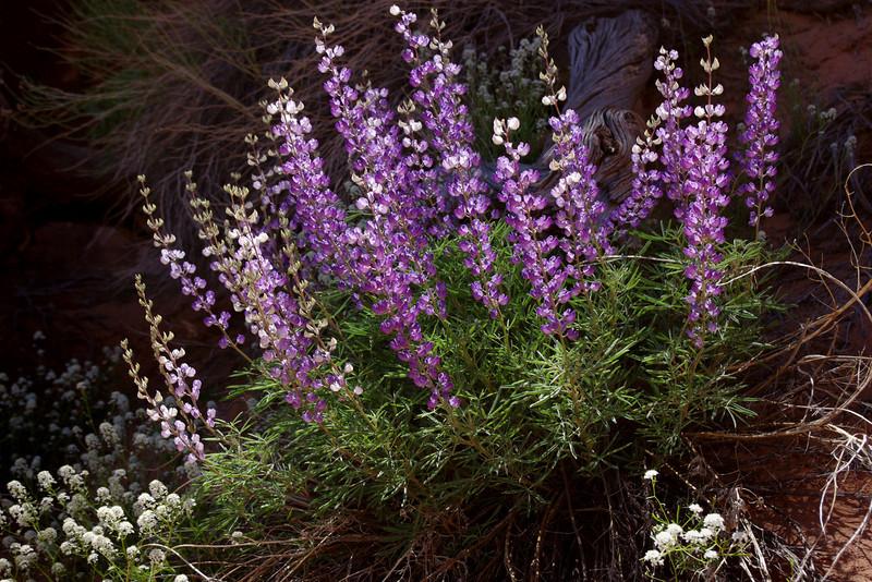 Desert flowers, Primitive trail, Arches National Park, Utah.