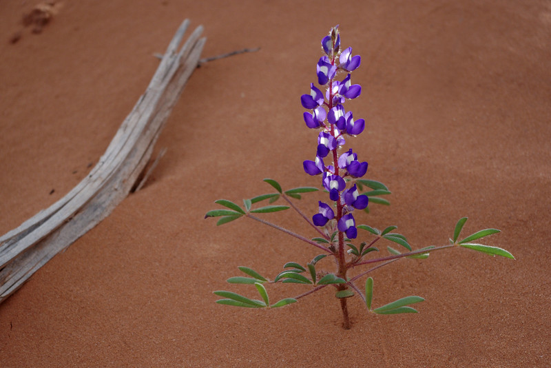 Dwarf Lupine; trail to Double Arch; Arches National Park, Utah.