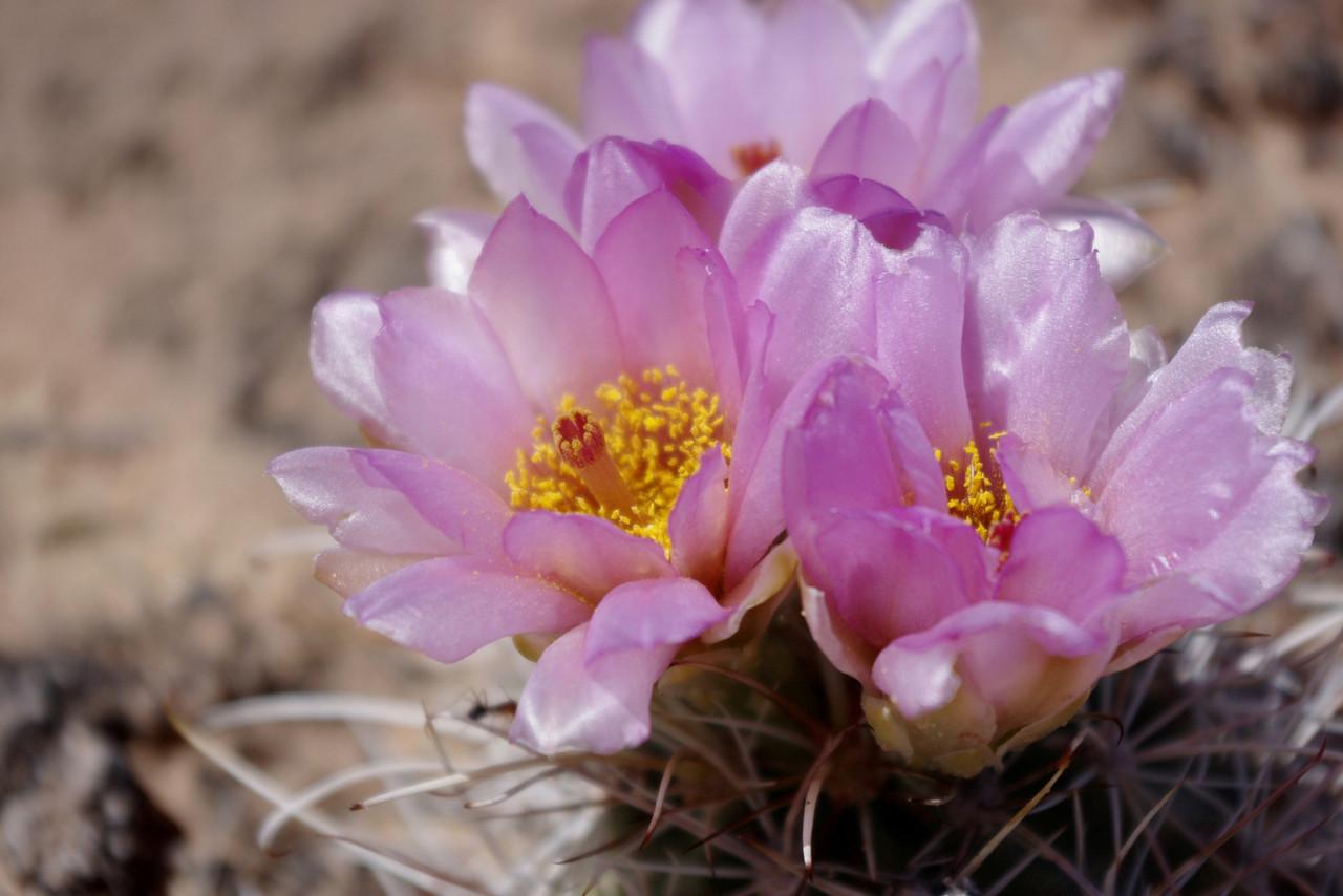 Cactus blooms, Canyonlands National Park.