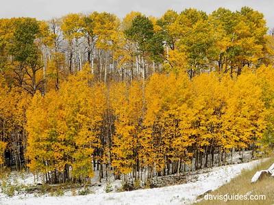 Aspens in snow on Scenic Hwy 12 above Boulder Utah