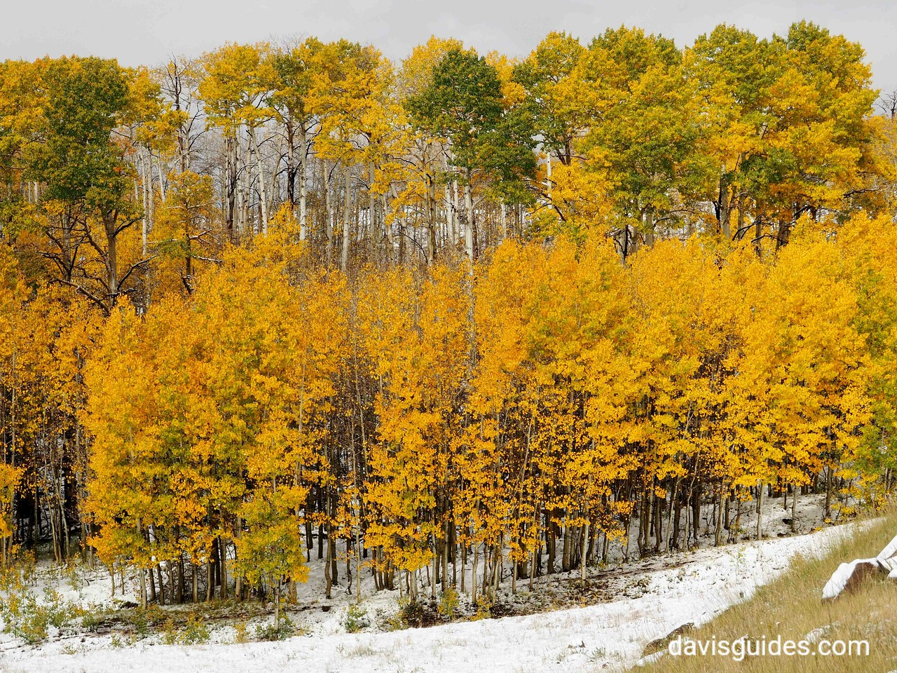 Aspens in snow on Scenic Hwy 12 above Boulder Utah
