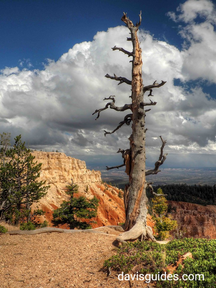 Dead Pine at Bristlecone Point, Bryce Canyon National Park