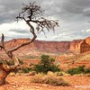 Ancient pine at Sunset Point, Capitol Reef National Park