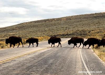 Antelppe Island bison