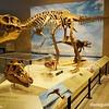 Dinosaur on display, Utah Natural History Museum, University of Utah