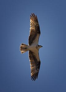 Osprey.  Dixie National Forest