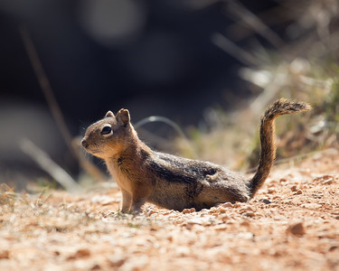 Ground Squirrel.  Dixie National Forest
