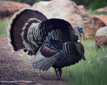 Zion Turkey