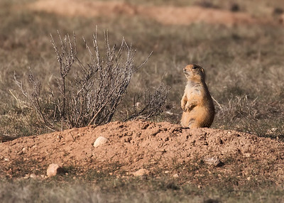 Prairie Dog guarding his mound