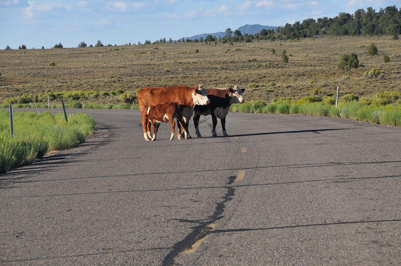 A cow crossing the highway stops to nurse it's young.
