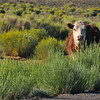 A cow observing us.
