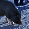 A pot-bellied pig at Best Friends. Sadly, people think that pigs are supposed to be stuffed full of food -- garbage food like cheez-its. This does terrible things to pigs.
