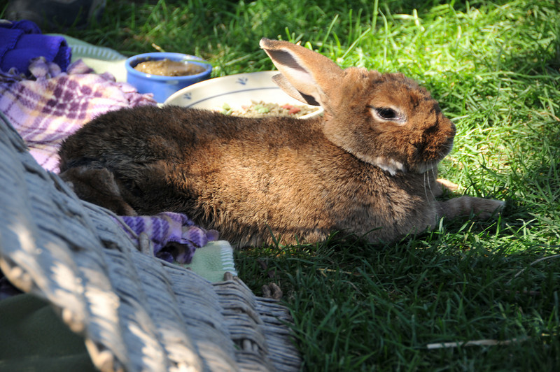 A bunny from the Bunny House relaxes outside.
