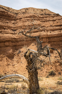 A dead, dry, twisted tree in the desert in Capitol Reef National Park