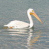 White Pelican on Bear Lake