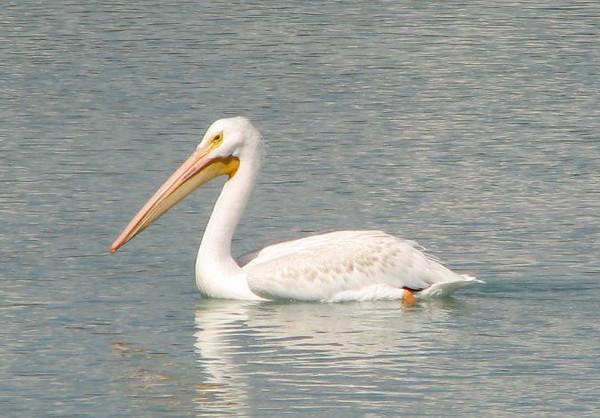 White Pelican on Bear Lake