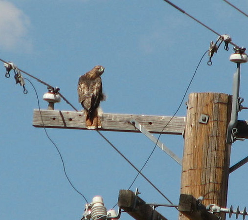Red-tailed Hawk on Pole