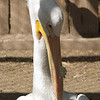 Showing The Pelican's Breeding Horn