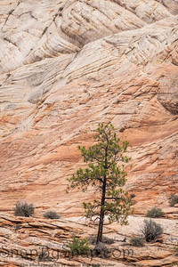 A single pine tree standing in front of a massive sandstone wall with smaller desert vegetation